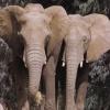 Animale Elefanti 302
